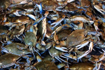 """He"" crab or ""She"" crab? SE, Washington, DC. (2014)"